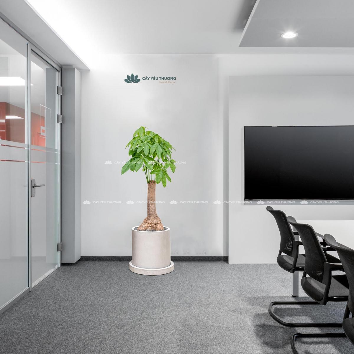Cây kim ngân gốc lớn thấp - Cây xanh văn phòng