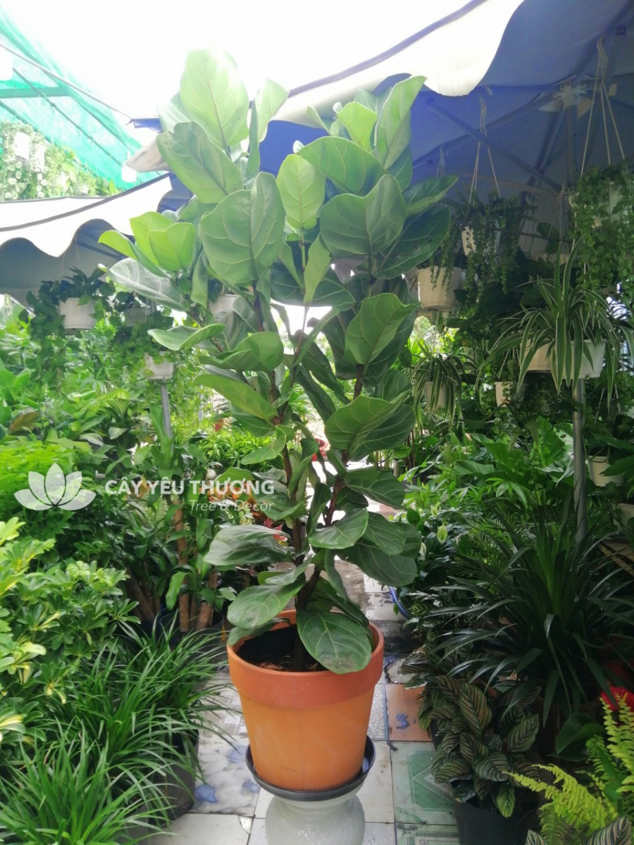 Cây bàng singapore chậu đất nung size lớn