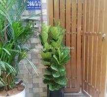 Cây bàng singapore | chậu đá mài kèm đôn sắt