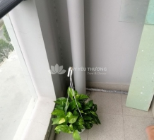Cây bàng singapore - Chậu đá mài trụ tròn màu đen