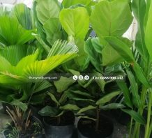 Cây bàng singapore - chậu nhựa
