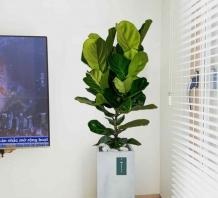 Cây bàng Singapore - Chậu xi măng,chậu đá mài trụ chữ nhật 30x30x60cm