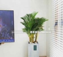 Cây Cau Vàng Đài Loan - Chậu xi măng,chậu đá mài trụ chữ nhật 30x30x60cm