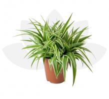 Cây cỏ lan chi (dây nhện) | không kèm chậu