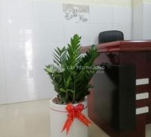 Cây kim tiền (kim phát tài) - cây tặng khai trương chậu đá mài trụ tròn trắng 30x30 cm