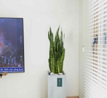 Cây lưỡi hổ xanh - Chậu xi măng,chậu đá mài trụ chữ nhật 30x30x60cm