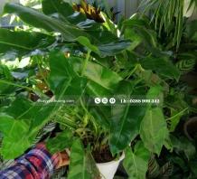 Cây Philodendron Burle Marx để bàn   Chậu đất nung