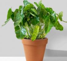 Cây Philodendron Burle Marx để bàn | Chậu đất nung