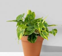 Cây Philodendron Hederaceum Brasil để bàn | Chậu đất nung