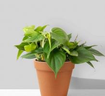 Cây trầu bà lá nhung (Philodendron Hederaceum Heartleaf) | Chậu đất nung