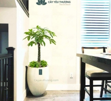 Cây trồng trong nhà - Cây kim ngân (chậu xi măng,đá mài hình đầu đạn)