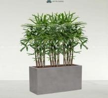 Trọn bộ cây trúc mây lớn và chậu xi măng trồng sẵn - mẫu 06