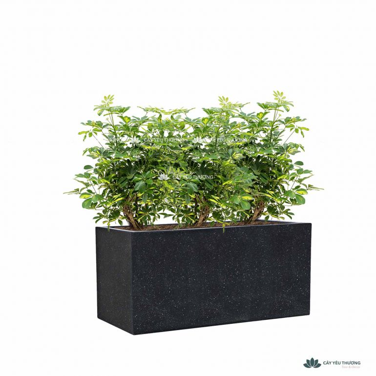 Trọn bộ cây ngũ gia bì lớn và chậu đá mài trồng sẵn - mẫu 04