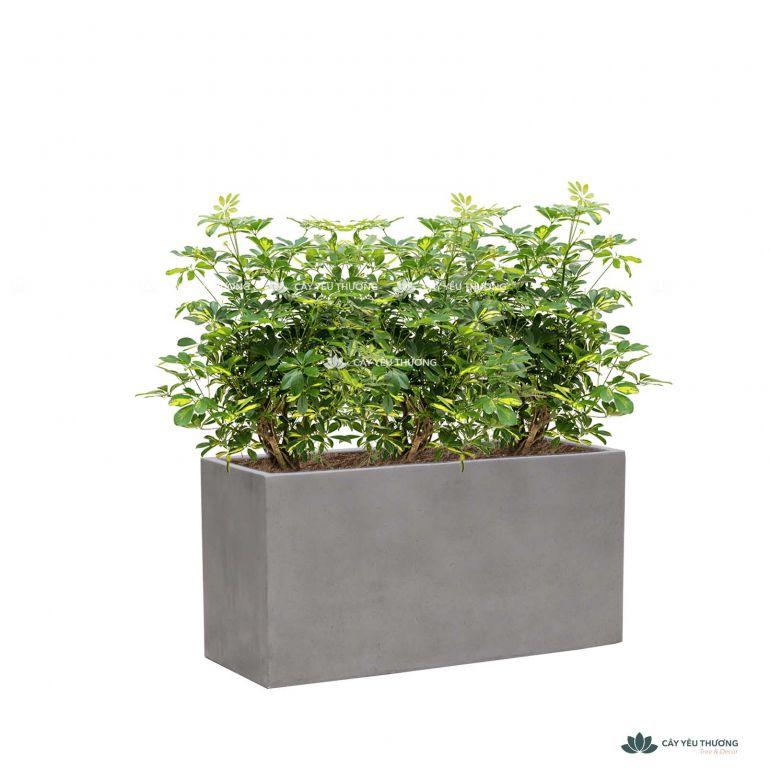 Trọn bộ cây ngũ gia bì lớn và chậu trồng sẵn - mẫu 03